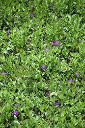 Burgundy Periwinkle (Vinca minor 'Atropurpurea') at Plants Unlimited