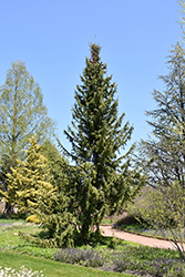 Serbian Spruce (Picea omorika) at Plants Unlimited
