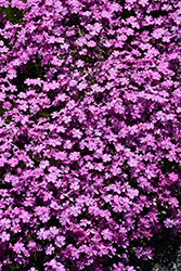 Emerald Pink Moss Phlox (Phlox subulata 'Emerald Pink') at Plants Unlimited