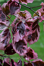 Tricolor Beech (Fagus sylvatica 'Roseomarginata') at Plants Unlimited