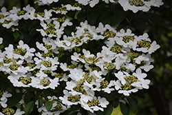 Summer Snowflake Doublefile Viburnum (Viburnum plicatum 'Summer Snowflake') at Plants Unlimited