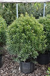 Compact Inkberry Holly (Ilex glabra 'Compacta') at Plants Unlimited