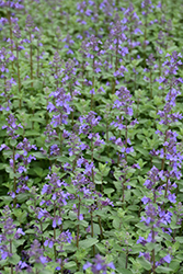 Blue Wonder Catmint (Nepeta x faassenii 'Blue Wonder') at Plants Unlimited