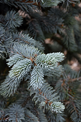 Hoopsii Blue Spruce (Picea pungens 'Hoopsii') at Plants Unlimited