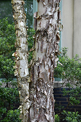 Dura Heat River Birch (Betula nigra 'Dura Heat') at Plants Unlimited