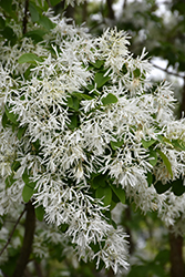 Chinese Fringetree (Chionanthus retusus) at Plants Unlimited