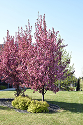 Pink Spires Flowering Crab (Malus 'Pink Spires') at Plants Unlimited