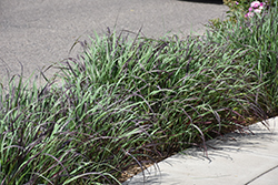 Ruby Ribbons Switch Grass (Panicum virgatum 'Ruby Ribbons') at Plants Unlimited