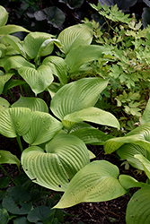 Key West Hosta (Hosta 'Key West') at Plants Unlimited