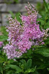 Venusta Queen Of The Prairie (Filipendula rubra 'Venusta') at Plants Unlimited
