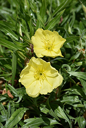 Ozark Sundrops (Oenothera missouriensis) at Plants Unlimited