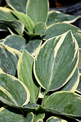 Sugar Daddy Hosta (Hosta 'Sugar Daddy') at Plants Unlimited