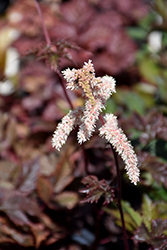 Chocolate Shogun Astilbe (Astilbe x arendsii 'Chocolate Shogun') at Plants Unlimited