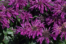 Rockin' Raspberry Beebalm (Monarda 'Rockin' Raspberry') at Plants Unlimited