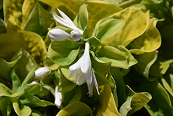 Maui Buttercups Hosta (Hosta 'Maui Buttercups') at Plants Unlimited