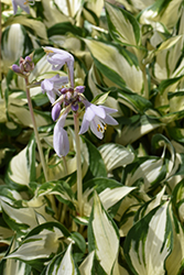 Loyalist Hosta (Hosta 'Loyalist') at Plants Unlimited