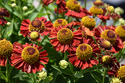 Mariachi™ Salsa Sneezeweed (Helenium autumnale 'Salsa') at Plants Unlimited