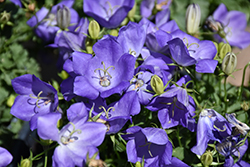 Rapido Blue Bellflower (Campanula carpatica 'Rapido Blue') at Plants Unlimited