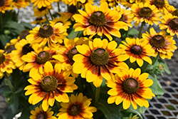 Toto® Rustic Coneflower (Rudbeckia hitra 'Toto Rustic') at Plants Unlimited