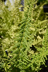 Victoriae Lady Fern (Athyrium filix-femina 'Victoriae') at Plants Unlimited