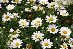 Pure White Butterfly™ Marguerite Daisy (Argyranthemum frutescens 'G14420') at Plants Unlimited