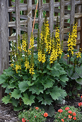 Little Rocket Rayflower (Ligularia 'Little Rocket') at Plants Unlimited