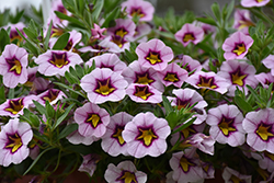 Superbells® Morning Star™ Calibrachoa (Calibrachoa 'BBCAL27801') at Plants Unlimited