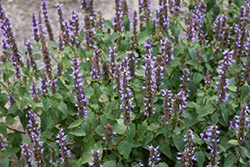 Little Adder Hyssop (Agastache rugosa 'Little Adder') at Plants Unlimited