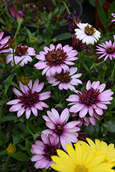 4D™ Berry White African Daisy (Osteospermum 'KLEOE15257') at Plants Unlimited