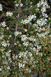 Snow Flurry Aster (Aster ericoides 'Snow Flurry') at Plants Unlimited