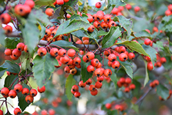 Winter King Hawthorn (Crataegus viridis 'Winter King') at Plants Unlimited