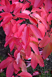 Sourwood (Oxydendron arboreum) at Plants Unlimited
