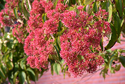 Seven-Son Flower (Heptacodium miconioides) at Plants Unlimited