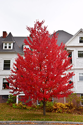 Sun Valley Red Maple (Acer rubrum 'Sun Valley') at Plants Unlimited