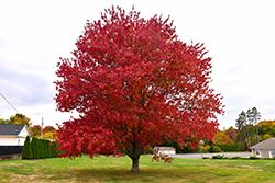 Red Maple (Acer rubrum) at Plants Unlimited