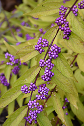 Early Amethyst Beautyberry (Callicarpa dichotoma 'Early Amethyst') at Plants Unlimited