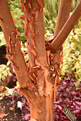 Paperbark Maple (Acer griseum) at Plants Unlimited