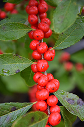 Red Sprite Winterberry (Ilex verticillata 'Red Sprite') at Plants Unlimited
