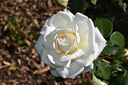 Cloud 10 Rose (Rosa 'Radclean') at Plants Unlimited