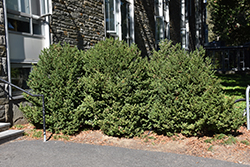 Green Mountain Boxwood (Buxus 'Green Mountain') at Plants Unlimited