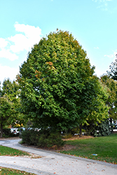 Legacy Sugar Maple (Acer saccharum 'Legacy') at Plants Unlimited