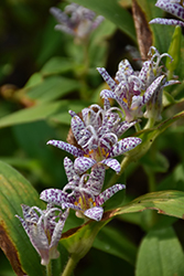 Toad Lily (Tricyrtis hirta) at Plants Unlimited
