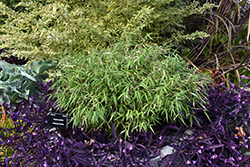 Scabrida Bamboo (Fargesia scabrida) at Plants Unlimited