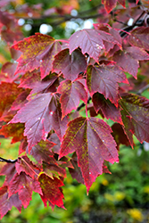 Red Sunset Red Maple (Acer rubrum 'Red Sunset') at Plants Unlimited