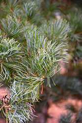 Blue Japanese Pine (Pinus parviflora 'Glauca') at Plants Unlimited