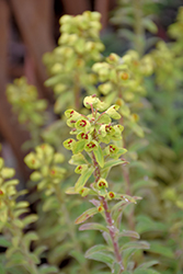 Ascot Rainbow Variegated Spurge (Euphorbia 'Ascot Rainbow') at Plants Unlimited