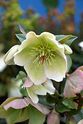 Molly's White Hellebore (Helleborus 'Molly's White') at Plants Unlimited
