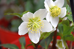 Gold Collection® Jacob Hellebore (Helleborus niger 'Jacob') at Plants Unlimited