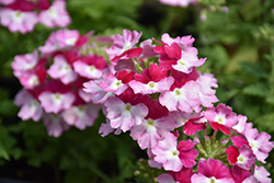 Superbena Sparkling® Ruby Verbena (Verbena 'VEAZ0021') at Plants Unlimited