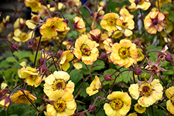 Tequila Sunrise Avens (Geum 'Tequila Sunrise') at Plants Unlimited